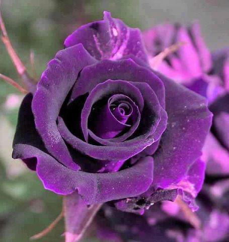 بالصور اجمل صور ورد , اجمل مافي الطبيعه الورد 2883 8