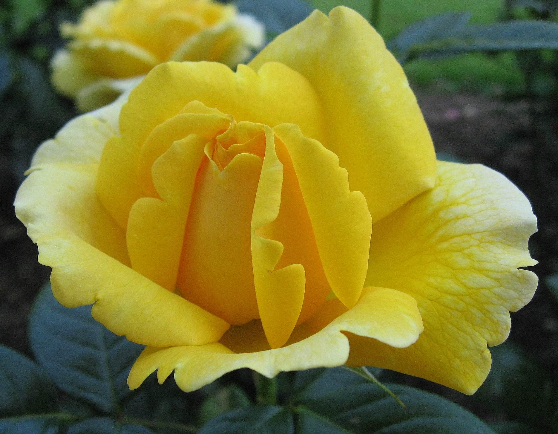 صورة اجمل وردة في العالم , ماهى انواع الورد