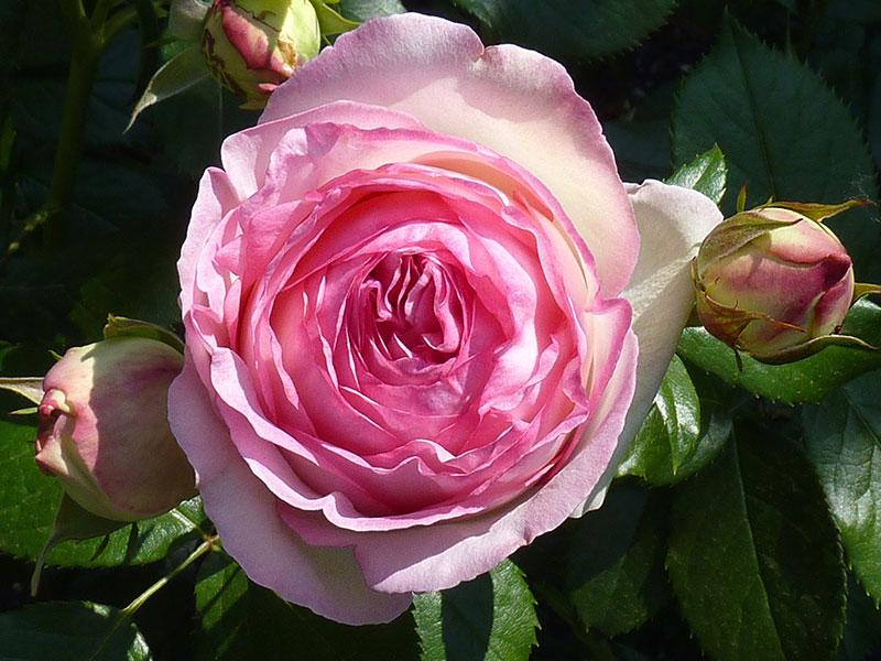 بالصور اجمل وردة في العالم , ماهى انواع الورد 5216 10