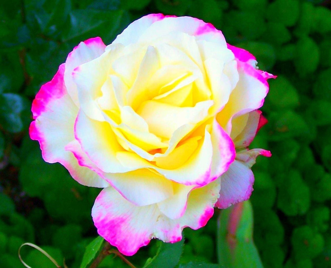 بالصور اجمل وردة في العالم , ماهى انواع الورد 5216 4