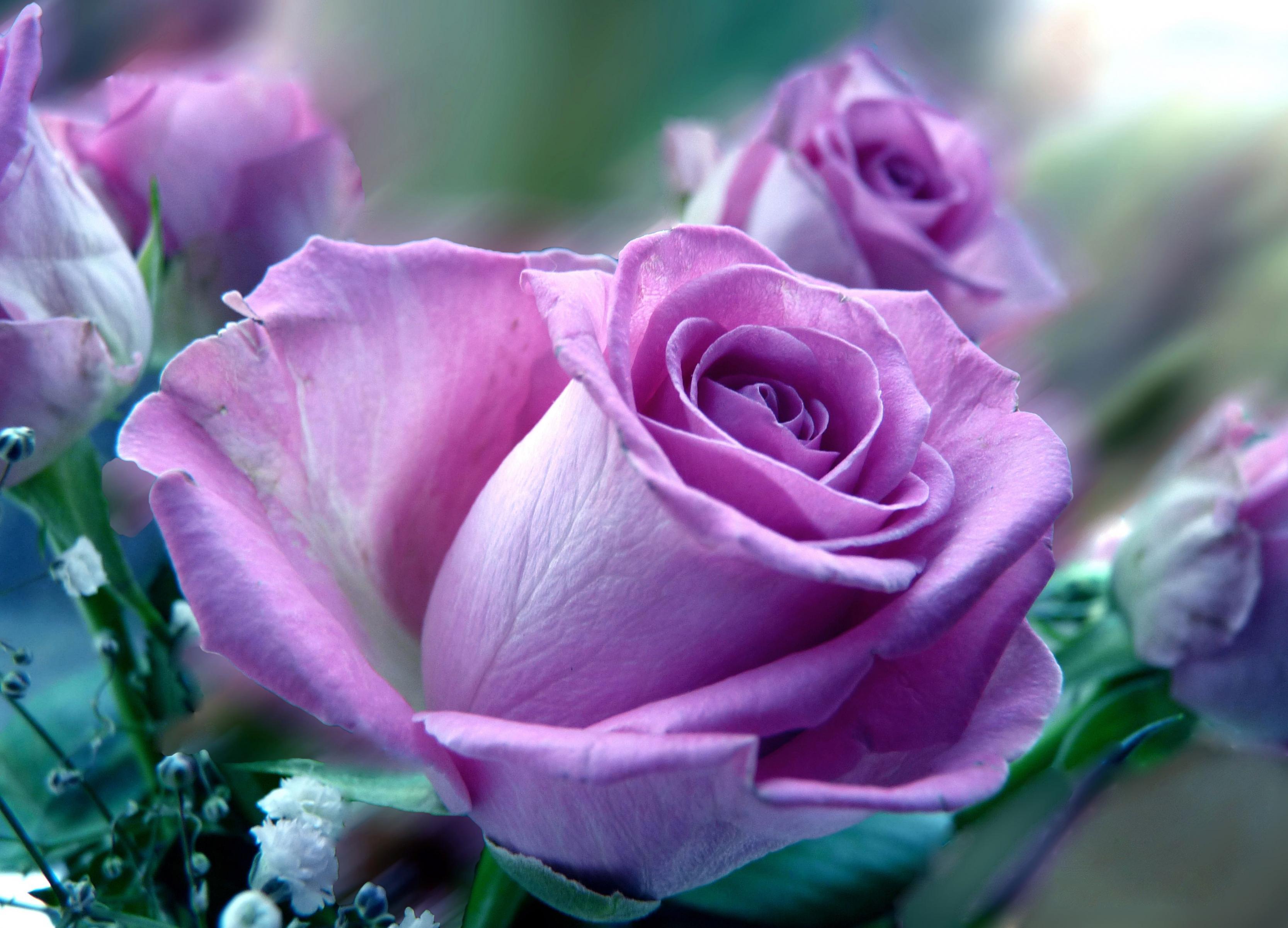 بالصور اجمل وردة في العالم , ماهى انواع الورد 5216 8