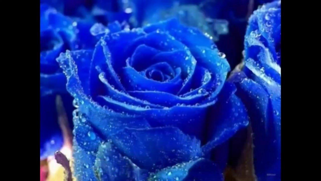 بالصور اجمل وردة في العالم , ماهى انواع الورد 5216 9
