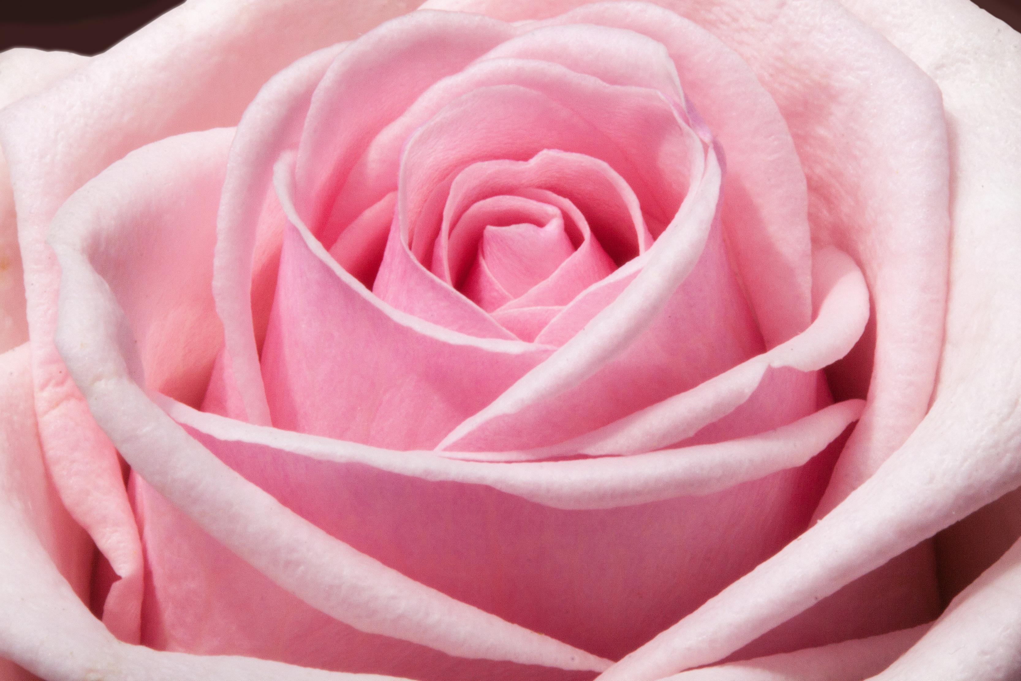 بالصور اجمل وردة في العالم , ماهى انواع الورد