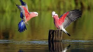 بالصور صوت عصافير كناري , اجمل صوت عصافير الكناري 5773 1