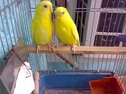 بالصور صوت عصافير كناري , اجمل صوت عصافير الكناري 5773