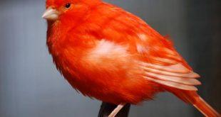 انواع الكناري , اجمل انواع العصافير