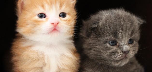 صورة كيفية تربية القطط , معلومات عن تربية القطط