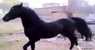 صور خيل عربي اصيل , اجمل خيول عربية