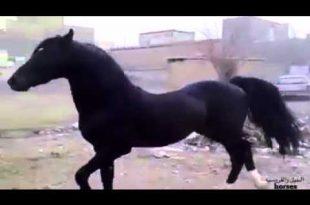 صورة خيل عربي اصيل , اجمل خيول عربية