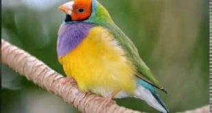 بالصور صور عصافير , اجمل صور للعصافير 1795 12 310x165