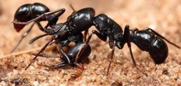 صور معلومات عن النمل , حقائق مثيره عن النمل