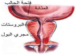 بالصور مرض البروستات , معلومات عامه عن مرض البروستات 3041 1