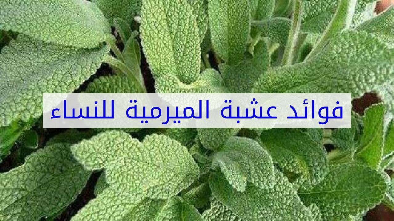 بالصور عشبة الميرمية , فوائد الميراميه الصحيه والعلاجيه 3342 1