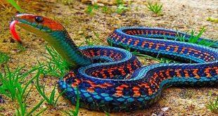 صور انواع الثعابين , اخطر انواع التعابين