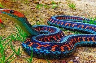 صورة انواع الثعابين , اخطر انواع التعابين