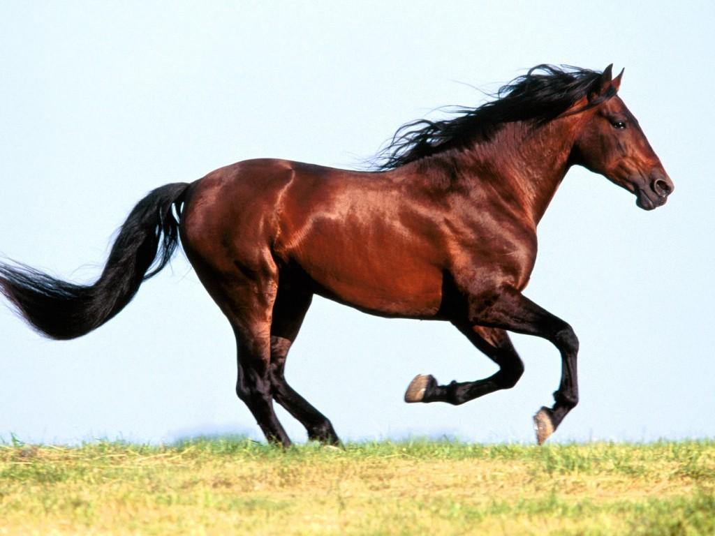 بالصور حصان عربي , اجمل صور للحصان العربي 3505 7