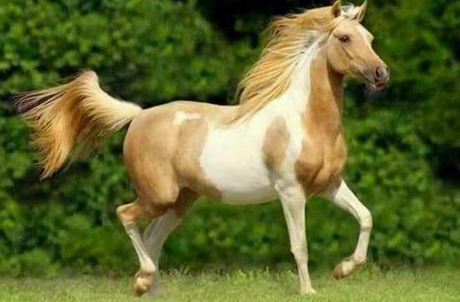 بالصور حصان عربي , اجمل صور للحصان العربي 3505 9