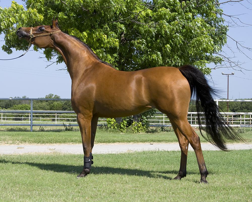 صور حصان عربي , اجمل صور للحصان العربي