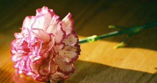بالصور احلى صور ورد , الورد هو لغه الحب والعشق بين الاشخاص 3830 10 310x165