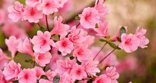 بالصور صور ورد الياسمين , ما اجمل الورد فى الصور والخلفيات 4070 12 310x165