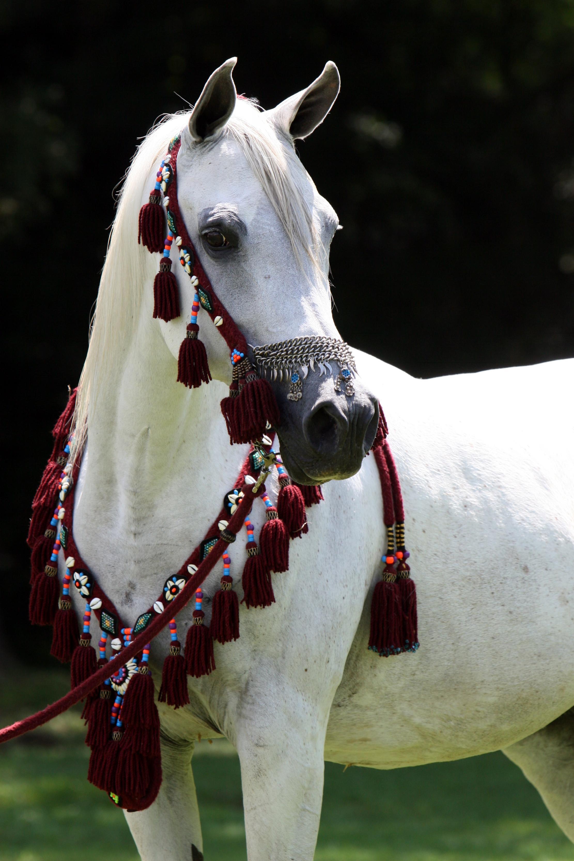 حصان عربي اجمل خيل عربى اصيل كيوت