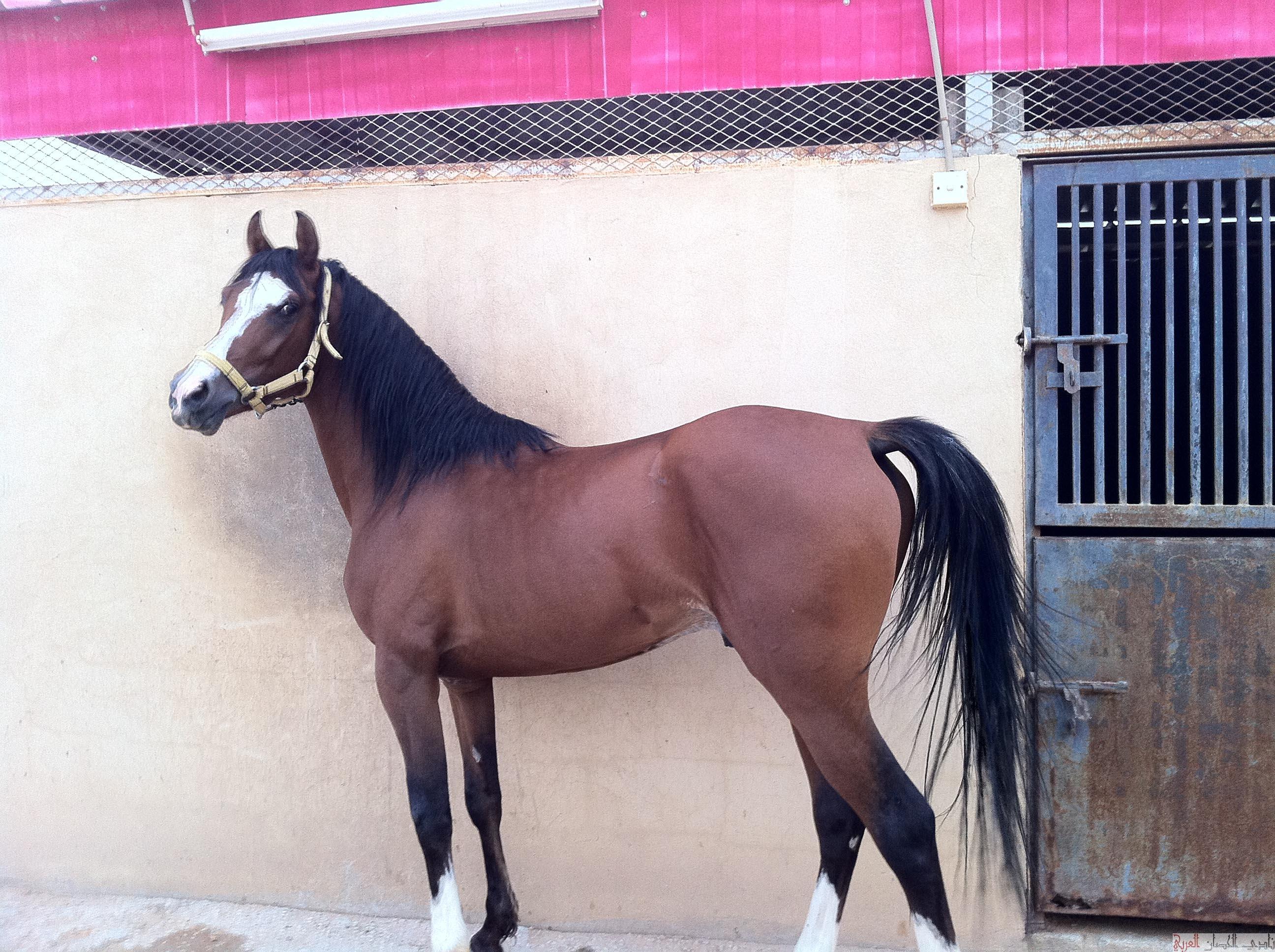 بالصور حصان عربي , اجمل صور للحصان العربي 3505 5