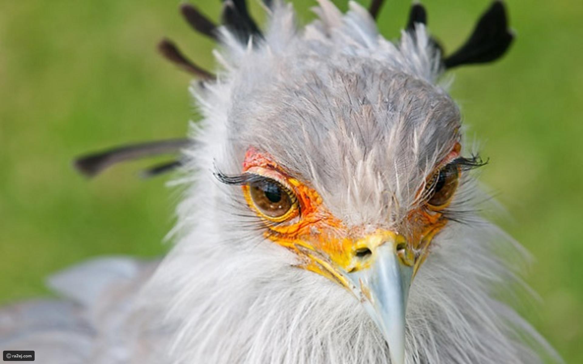بالصور اجمل الطيور في العالم , اغرب الطيور الموجوده فالعالم 3614