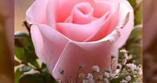 بالصور صور ورد طبيعي , اجمل صور ورد طبيعي شيك 4597 13 310x165
