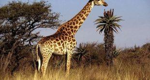 بالصور حيوان بحرف ز , تعرف علي حيوان بحرف ال ز 12147 10 310x165