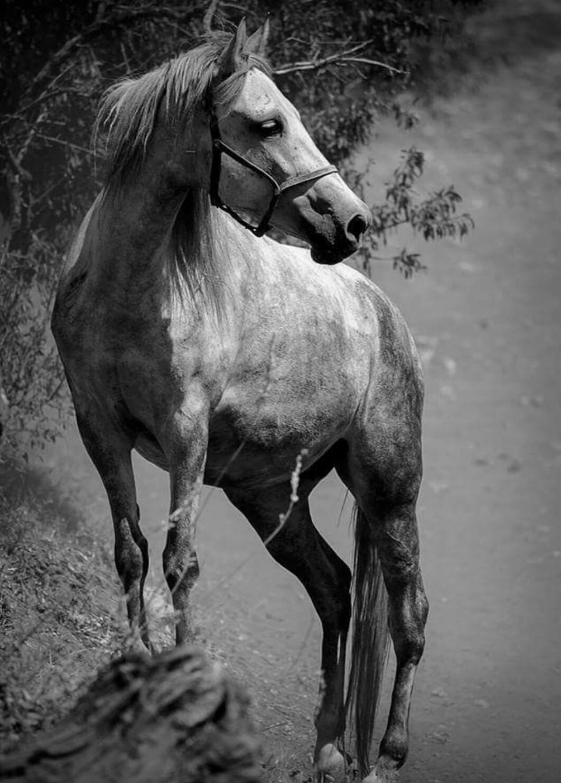 بالصور صور حصان , اروع صور حصان 4670 1