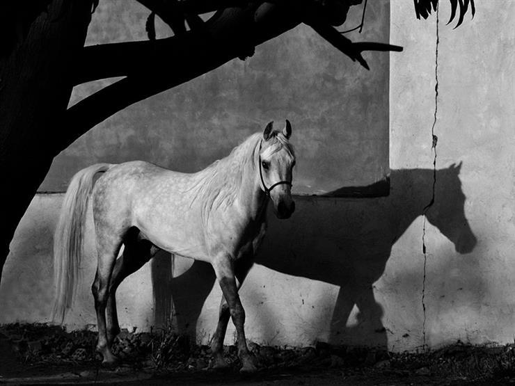 بالصور صور حصان , اروع صور حصان 4670 2