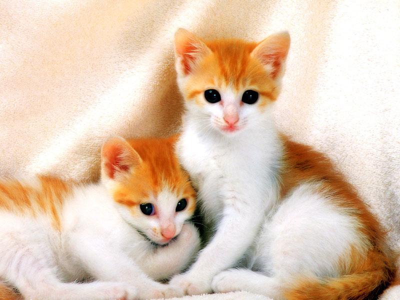 صور صور قطط جميلة , معلومات عن القطط ومعاملت الانسان لها