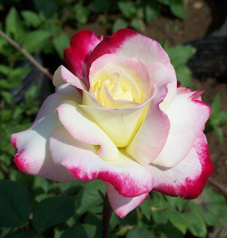 بالصور اجمل ورود في العالم , الورد هو لغة القلوب والاحساس والمشاعر 5105 2