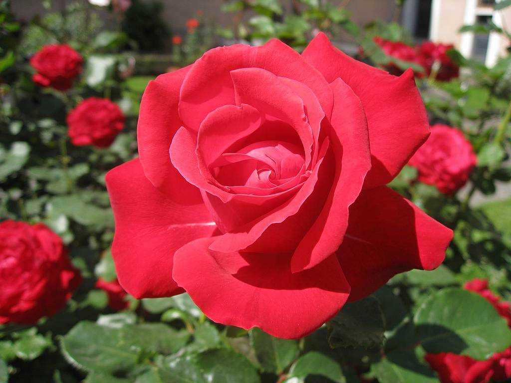 بالصور اجمل ورود في العالم , الورد هو لغة القلوب والاحساس والمشاعر 5105 4