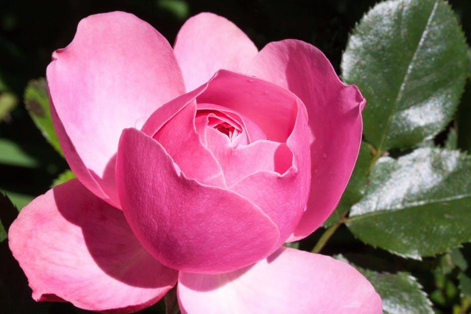 بالصور اجمل ورود في العالم , الورد هو لغة القلوب والاحساس والمشاعر