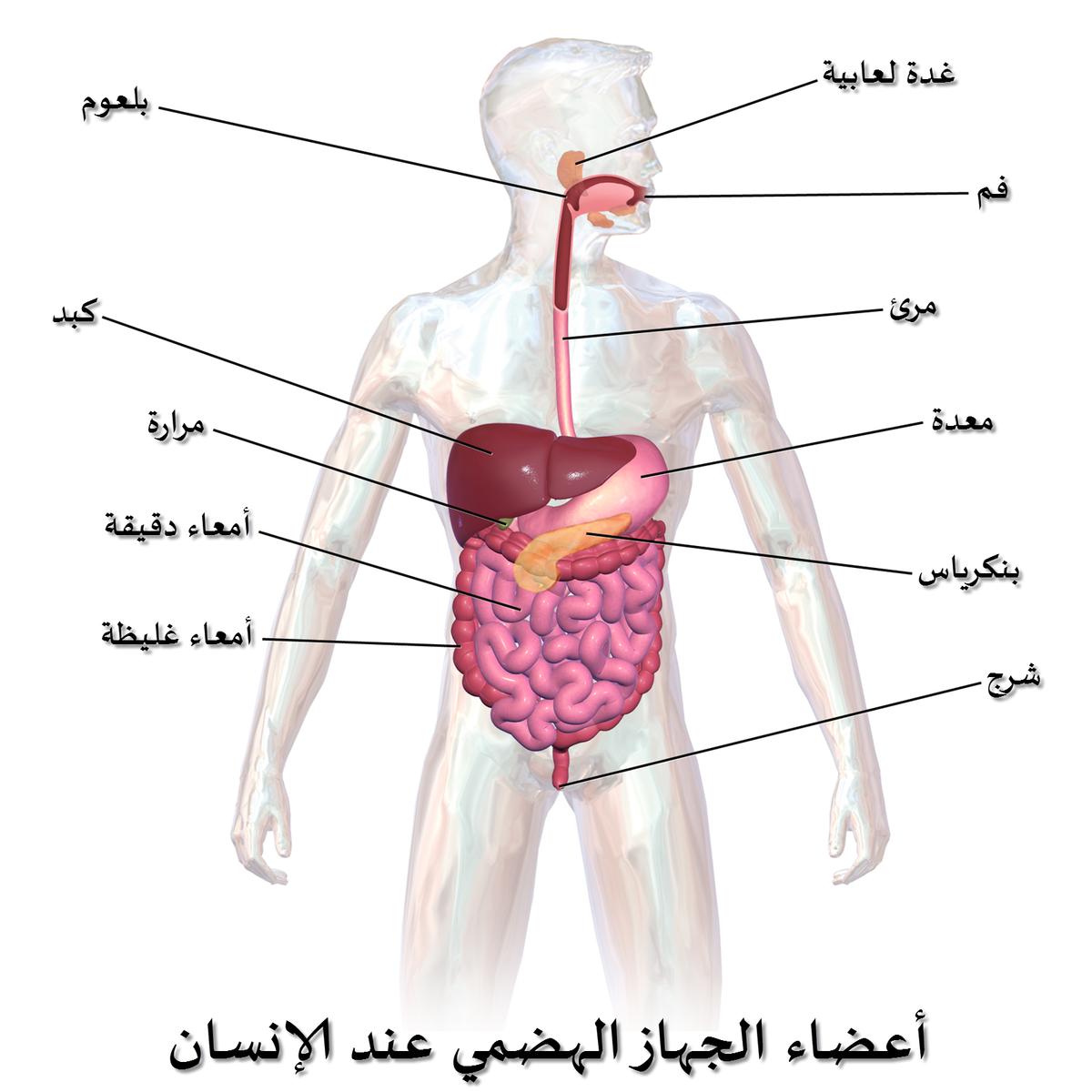 صورة جسم الانسان بالصور , جسم الانسان و ابداع الخالق فيه