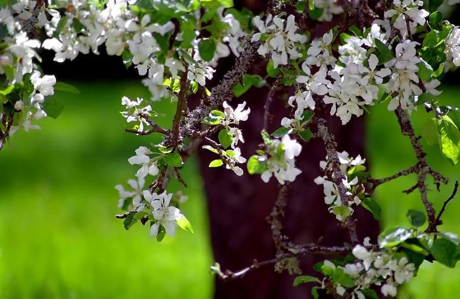 صور صور زهرة الياسمين , معلومات عن زهرة الياسمين