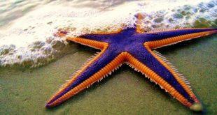 صور صور نجم البحر , نجم البحر و معلومات مميزه عنه