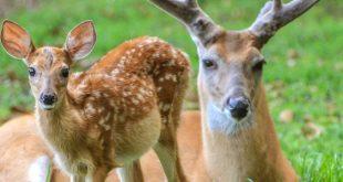 صورة معلومات عن حيوان الغزال , اكتر المعلومات المهمة وشيقة عن الغزالة