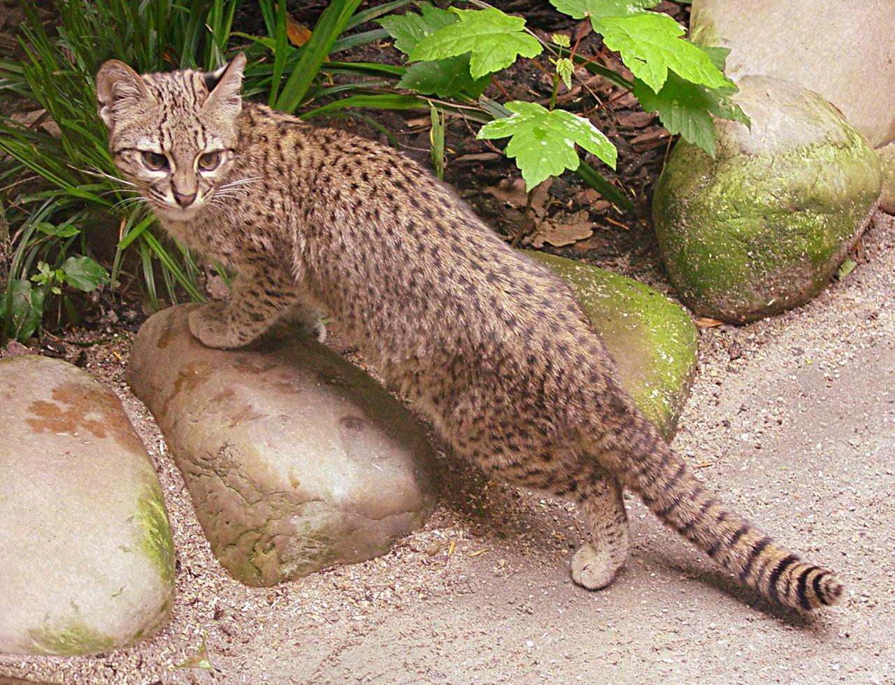 صورة حيوان بري اصغر من النمر , حل الفزورة حيوان اصغر من النمر
