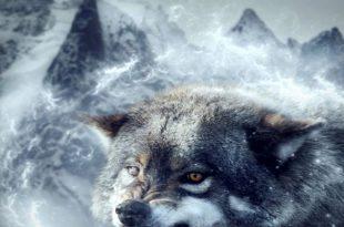 صورة الذئب في الحلم , تفسير رؤية الذئب في المنام