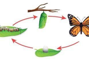 صورة مراحل نمو الفراشة , دورة حياة الفراشة