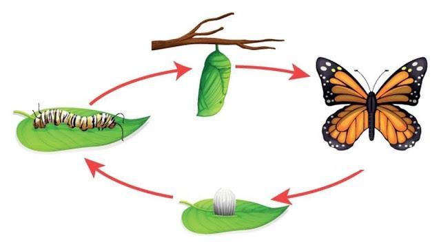 مراحل نمو الفراشة دورة حياة الفراشة احلى كلام عالم متعه جمال اثارة