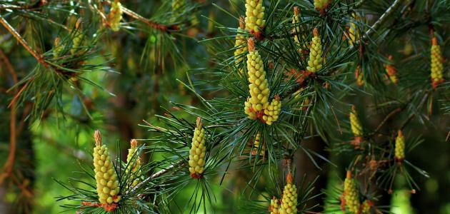 صورة شجر الصنوبر المثمر , شجرة الصنوبر لازالة الروائح الكريهة