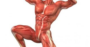 كم عدد عضلات جسم الانسان , عدد عضلات الجسم
