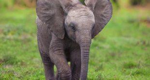 صورة اسم صغير الفيل , ما هو اسم صغير الفيل